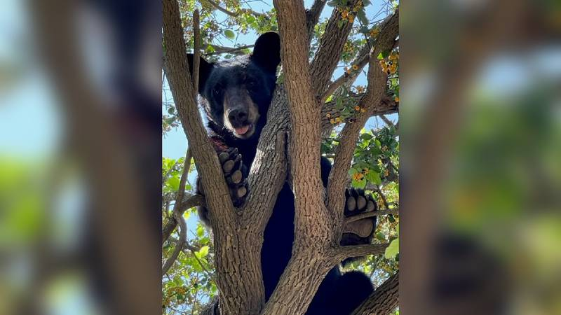 Black bear spotted in tree