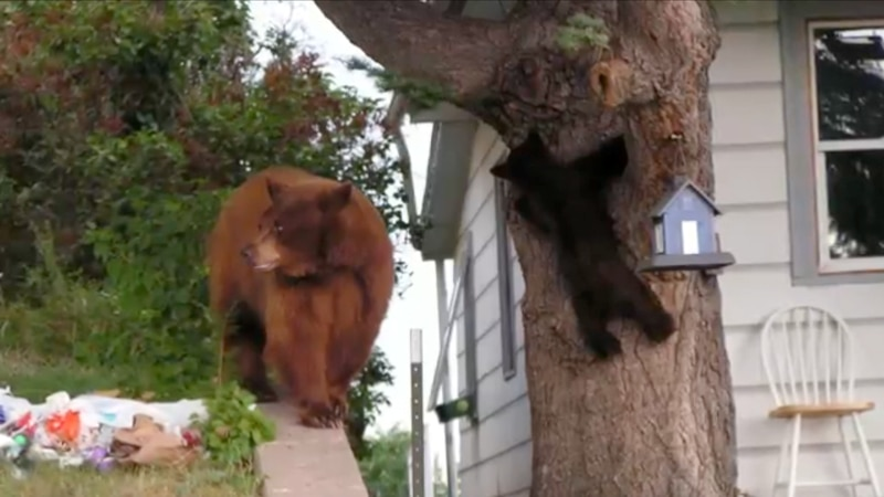 Mama Bear with her cub that is climbing a tree
