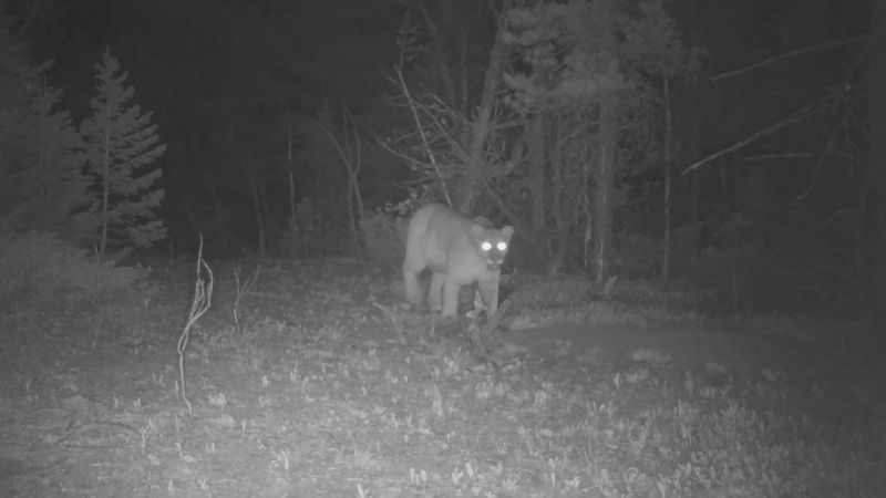 CPW educational videos on mountain lions.