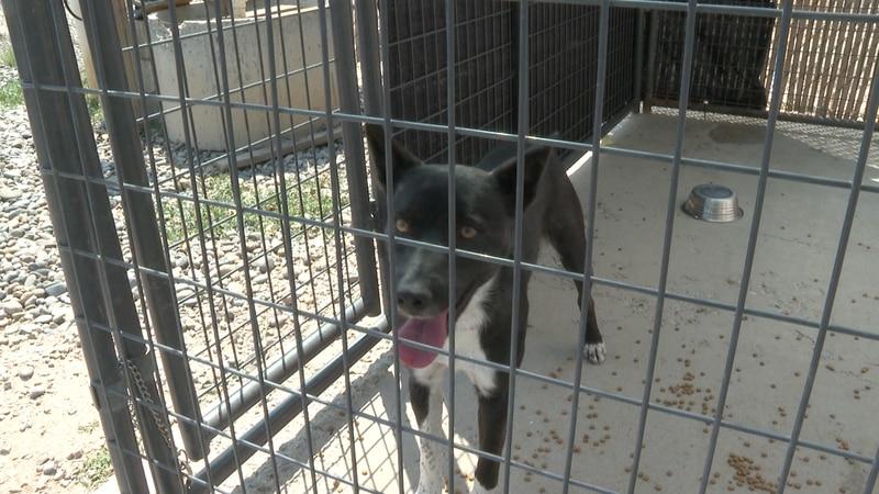 Dog at Roice-Hurst-Hurst Humane Society