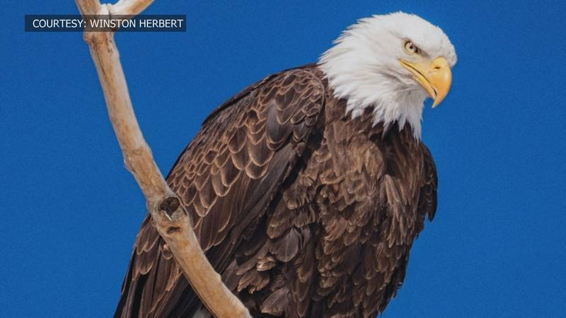 Bald eagles found nesting in unconventional areas.