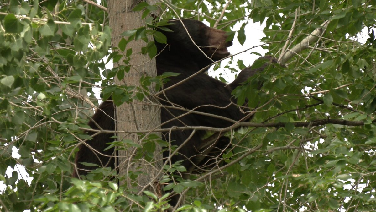A bear was located on Orchard Mesa.